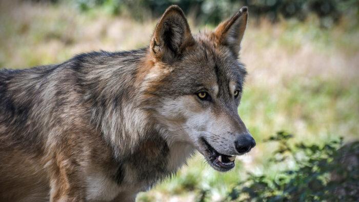 Wolf, pixabay.com